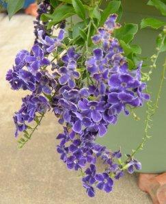 Sheri's Garden Bidwell Vine