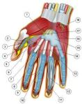 HAND NERVES