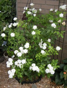 Heritage Antique White Climbing Rose Sheri's Garden