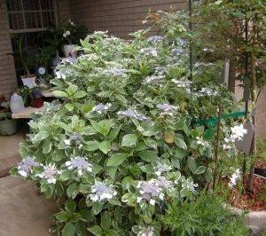 Lace Cap Hydrangea Sheri's Garden